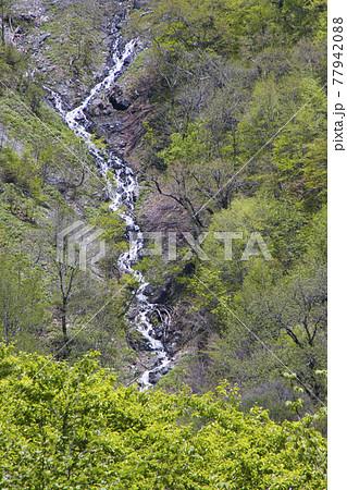 雪解け時にだけ現れる新緑に包まれた猿倉の滝 長野県白馬村 77942088