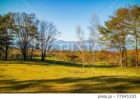 浅間山麓のリゾート地 北軽井沢の秋 紅葉の浅間牧場  77945205
