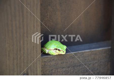 まったりと景色を眺めながら塀の隙間で寛いでいる雨蛙 77946857