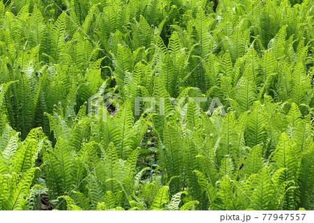 成長したコゴミの群生地=クサソテツの若葉 福島県只見町 77947557