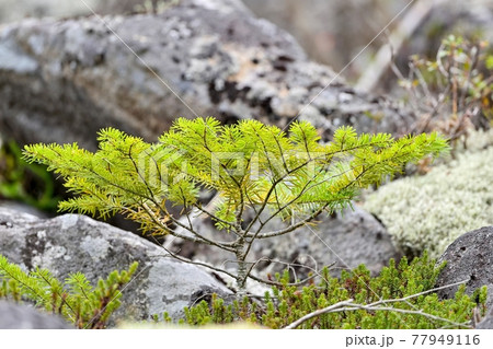 黄葉し始めた針葉樹の若木@北海道 77949116