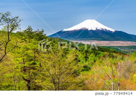 山梨県忍野村 新緑の二十曲峠からみる富士山 77949414
