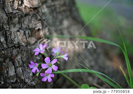 (フラワーツーリズム)樹木の根のムラサキカタバミ 77950858