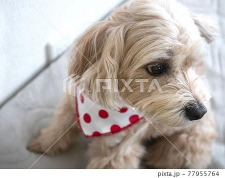 じっと座るかわいいアプリコットの小型犬【マルプー】 77955764