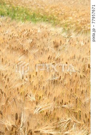 麦畑 77957671
