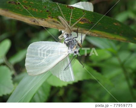 笹の葉の上にいるシャコグモと思われる蜘蛛に捕らえられたキアシドクガの成虫 77959775