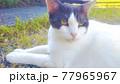 草の上でくつろぐ猫 77965967