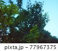 木陰から見上げる木 77967375