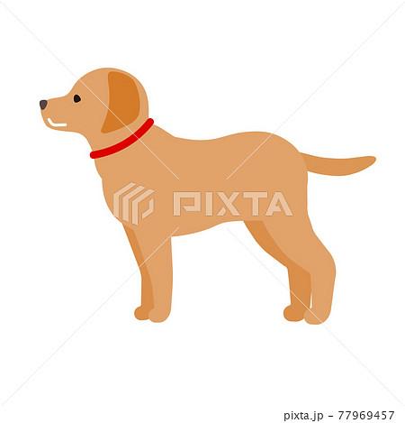柴犬 77969457