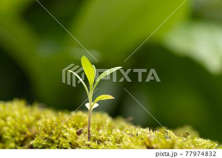 苔の中から伸び出した草の芽 77974832