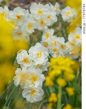 江川せせらぎ緑道に咲く八重咲き水仙 77978784