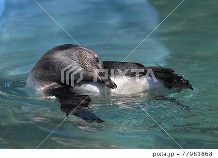 泳ぐペンギン 77981868