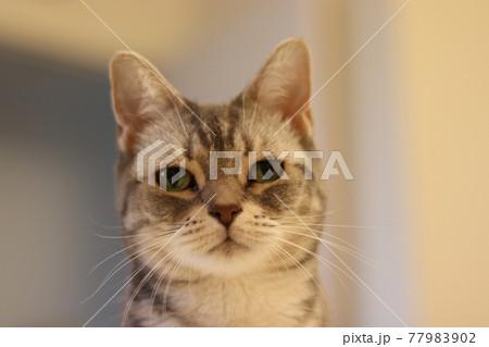 優しい表情で遠くを見つめている雰囲気の猫アメリカンショートヘアブルータビー 77983902