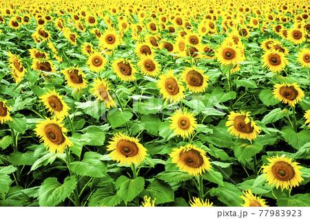 曇りの日にしっとりと咲く新潟県津南町のひまわり広場 77983923