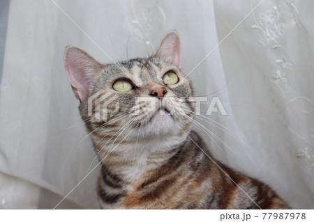 窓辺で風を感じる猫アメリカンショートヘアシルバーパッチドタビー 77987978