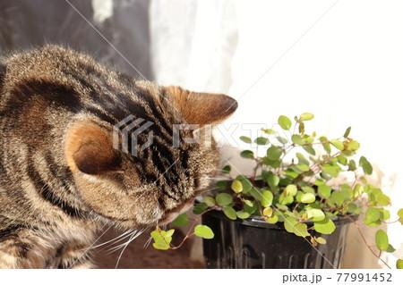 植物の匂いを嗅ぐ猫アメリカンショートヘアブラウンタビー 77991452