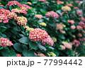 色づいた紫陽花(アジサイ) 77994442
