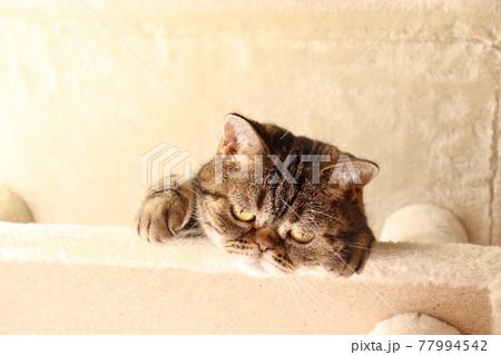 キャットタワーから身を乗り出してのぞき込む猫アメリカンショートヘアブラウンタビー 77994542