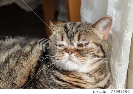 威張った表情の鼻ぺちゃ猫アメリカンショートヘアブラウンタビー 77995596