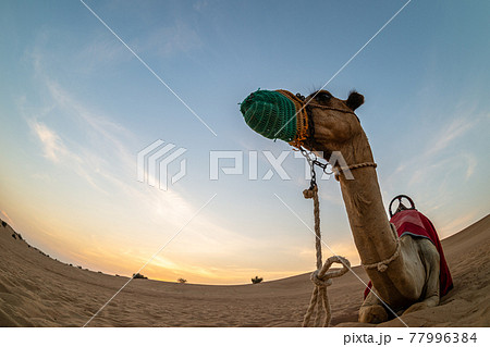 マスクを着用した砂漠のラクダ 77996384
