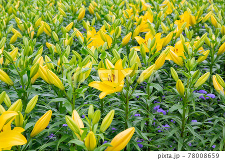 淡路島・国営明石海峡公園の黄色いユリ 78008659