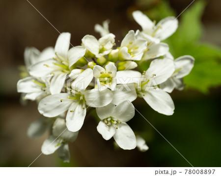 ウスユキナズナの花をマクロで撮影 78008897