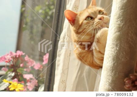 不敵な笑みで見区急をなめる猫アメリカンショートヘアレッドタビー 78009132