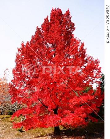 赤いクリスマスツリーと呼ばれる「大きなフウの木」の風景 78009847