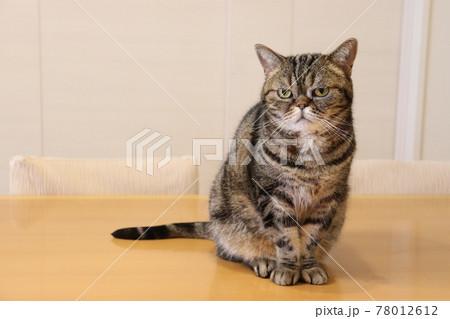 手足揃えておしとやかな鼻ぺちゃ猫アメリカンショートヘアブラウンタビー 78012612
