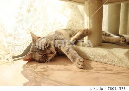 温かい日差しを求めて窓辺で寝る猫アメリカンショートヘアブルータビー 78014573