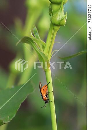 薔薇に産卵するチュウレンジハバチ 78027719