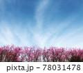 青空と白い雲とピンクの花桃が生い茂る春の風景 78031478