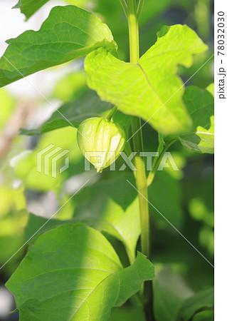 ホオズキの花と色づく前の若い実 78032030