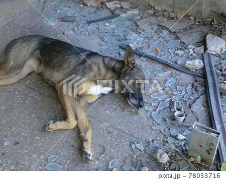 チェルノブイリの残骸の中で眠る野良犬 78033716