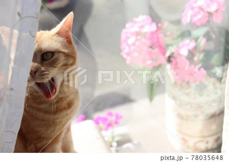 隠れて怒る凄い形相の猫アメリカンショートヘアレッドタビー 78035648