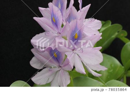 こんなに綺麗な花を咲かせるのに世界三大害草 78035864