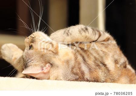 仰向けで顎に手を当ててキュートなポーズする猫アメリカンショートヘアシルバーパッチドタビー 78036205