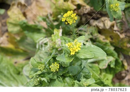 初夏の畑の白菜の花 78037623