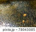 川面の波模様と川辺に咲いている二輪の枯れ芙蓉の風景 78043085