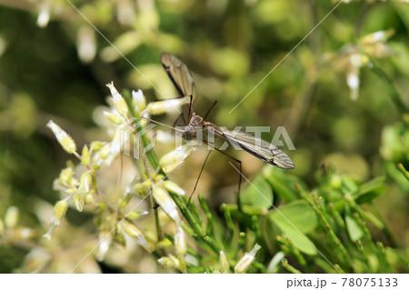 春 畑で見かけたガガンボ 78075133