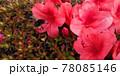 つつじの花と花粉まみれのハチ 78085146