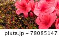 つつじの花と花粉まみれのハチ 78085147