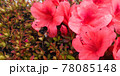 つつじの花と花粉まみれのハチ 78085148
