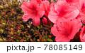 つつじの花と花粉まみれのハチ 78085149