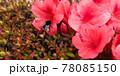 つつじの花と花粉まみれのハチ 78085150