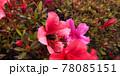 つつじの花と花粉まみれのハチ 78085151