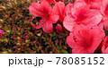 つつじの花と花粉まみれのハチ 78085152