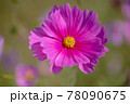 風景素材 鮮やかなコスモスの花 78090675
