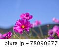 風景素材 鮮やかなコスモスの花 78090677