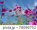 風景素材 青空と綺麗なコスモスの花 78090752